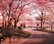 Cherry Blossoms Park in Guiyang – Feels Like Heaven