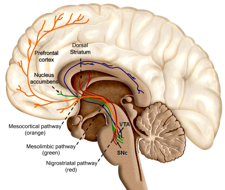 Mesolimbic system of Brain