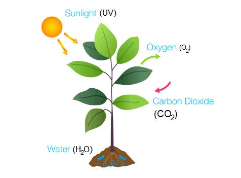 photosynthesis process