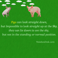 Pigs Can't Looking Straight Up At The Sky