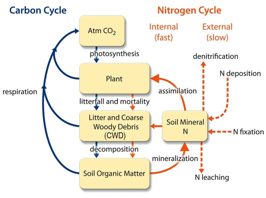 carbon nitrogen cycle