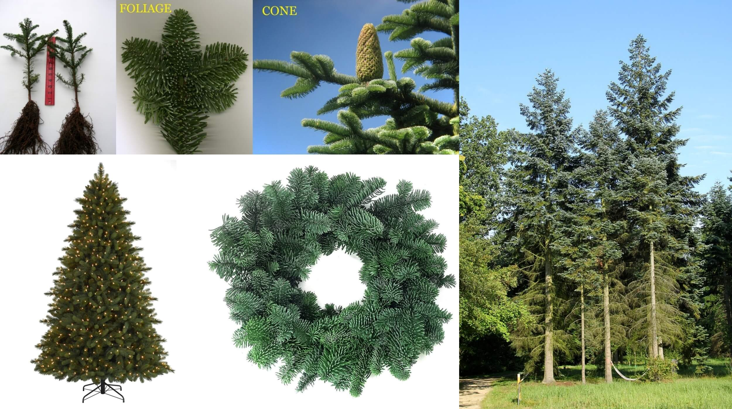noble fir tallest trees in the worl
