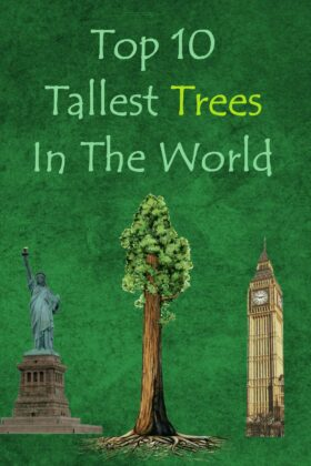Top 10 Tallest Trees In The World