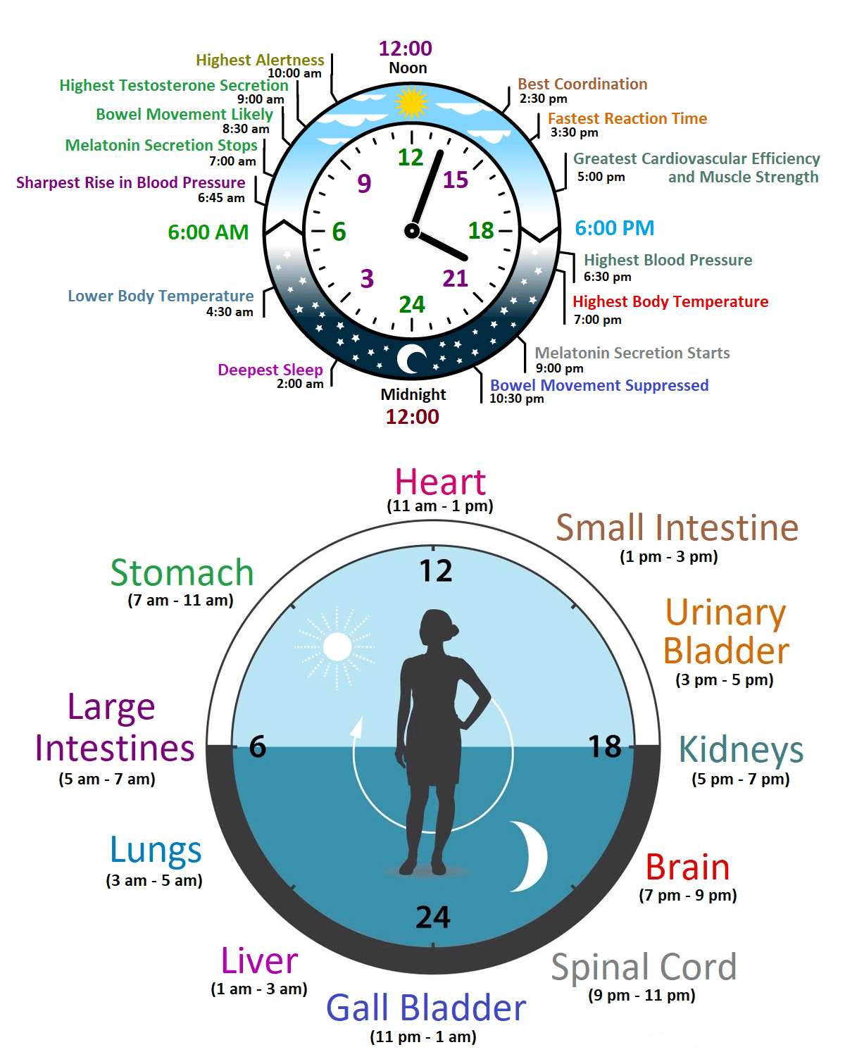 biological clock or body clock