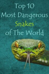 Top 10 Most Dangerous or Venomous Snakes of The World