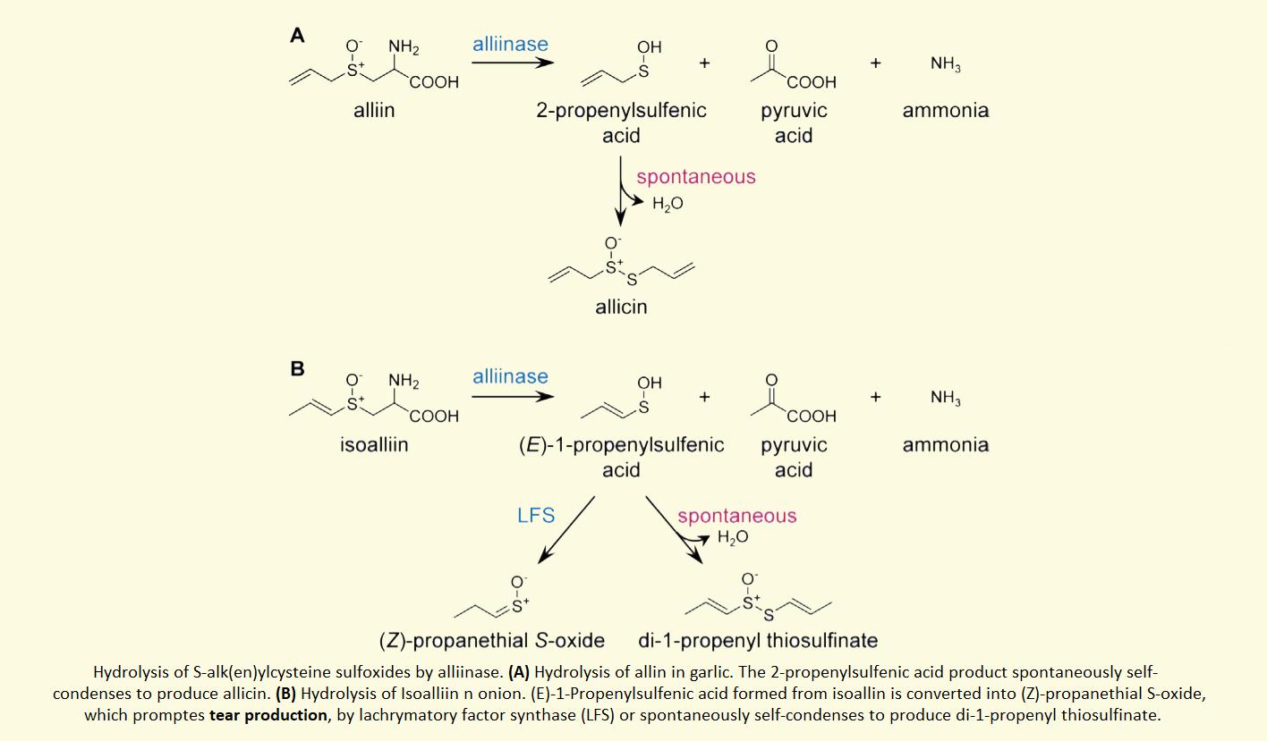 alliinase iso alliin onion reaction chemical