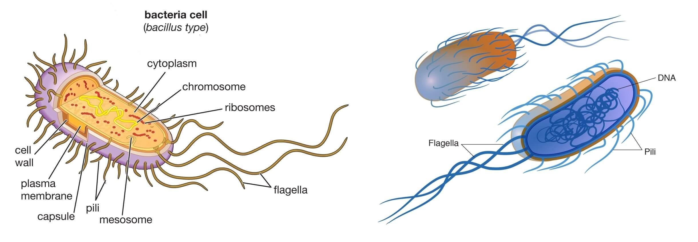 bacillus bacteria cell