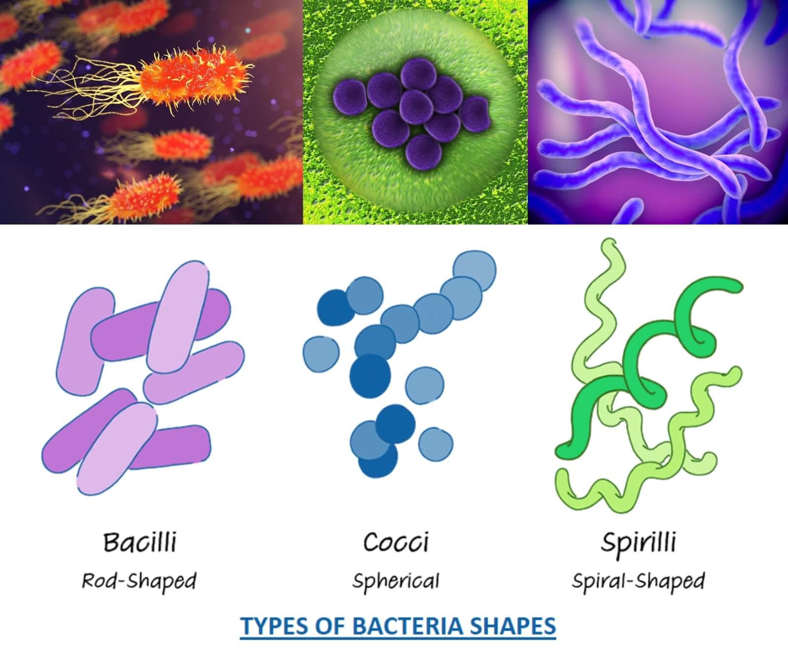 bacteria types bacillus coccus spirillus