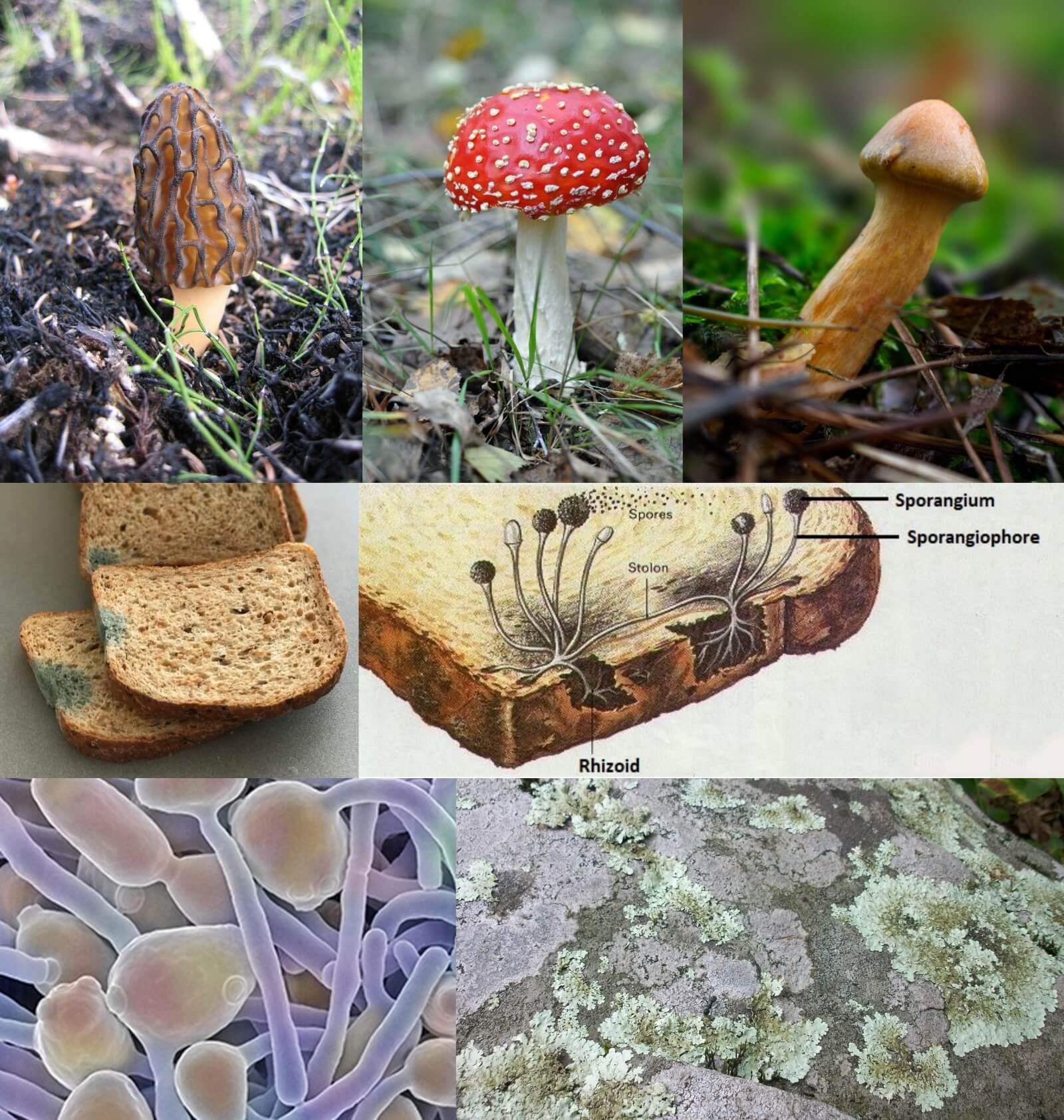 fungi structure mushroom bread mold