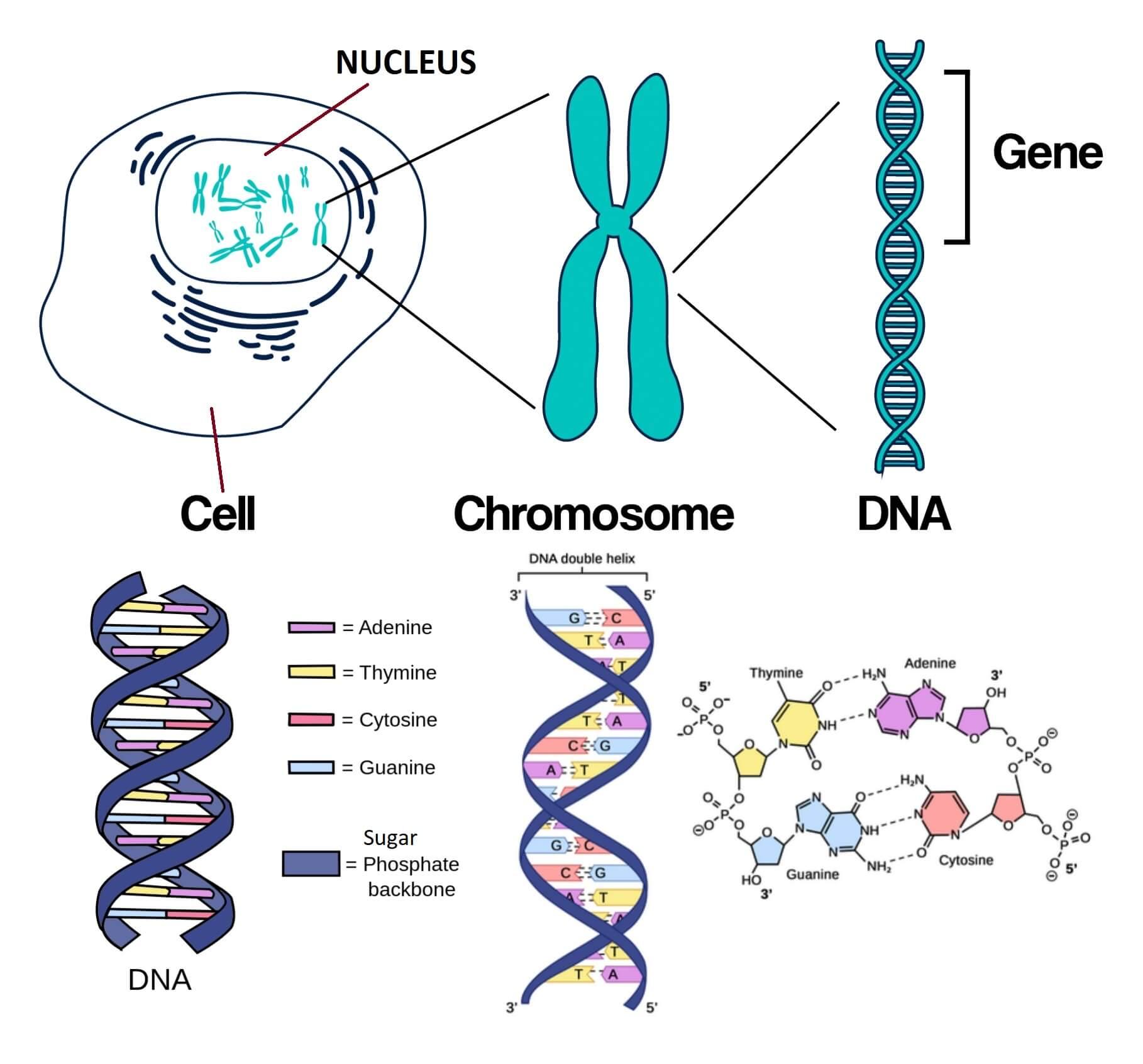 gene structure dna