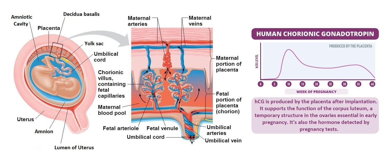 human chorionic gonadotropin hcg hormone for placenta