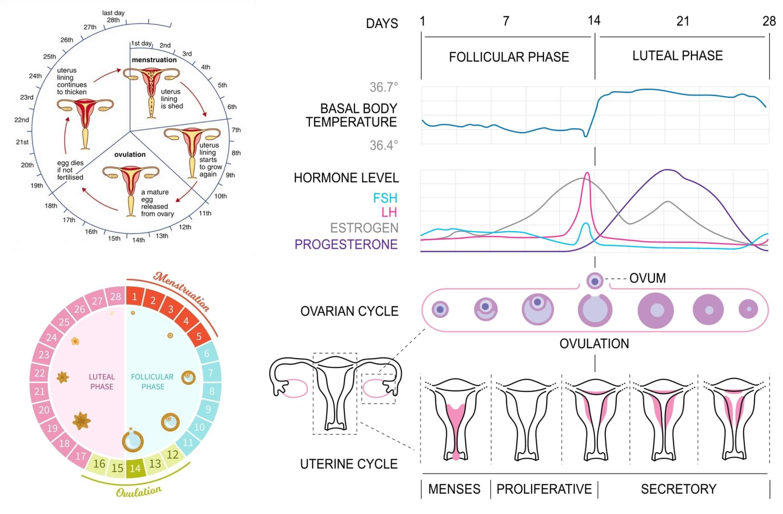menstruation hormone level