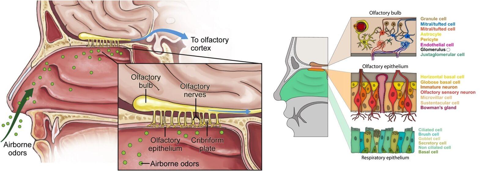 olfactory dysfunction in coronavirus covid 19