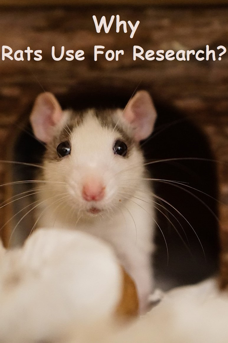 why rats are use for research